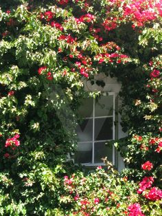 Color Photograph - Garden Window, roses completely envelope the window, filling it with love