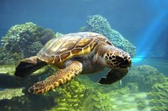 Sea Turtle - repinned for www.CavemenTimes.com
