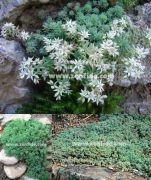 Beyaz çiçekli sedum fidesi sedum hispanicum