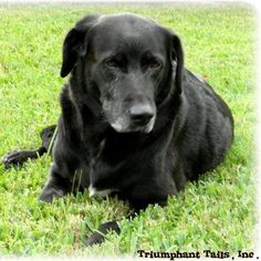 #FoundDog #YellowLab #Tomball #Montgomery #Harris #TX 12 ...