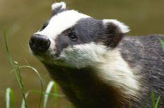 Badger gazing at something interesting.