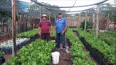 Plantação de Caju em Alto Santo CE