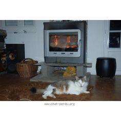 """204910 Chat perdu : """"GEORGE""""  Perdu chat, marron, beige, blanc, mâle, poils longs, pelage tigré. Perdu le 04/09/2015 45160 OLIVET (FR)."""