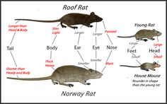 Identifying Your Rodent Problem Norway Rat Vs Roof Rat