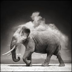 Nick Brandt, Elephant with Exploding Dust, Amboseli, 2004. Archival pigment print, 56 x 56 inches. Edition of 5. Courtesy the artist and Hasted Kraeutler, NYC