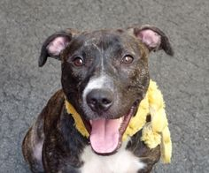 EBONI PULLED BY ALL BREED RESCUE VERMONT - 08/07/15 - TO BE DESTROYED - 08/07/15 - EBONI - #A1045893 - Urgent Manhattan - FEMALE BL BRINDLE PIT BULL MIX, 1 yr 1 Mo - STRAY NO HOLD Intake Date 07/30/15 Due Out 08/02/15