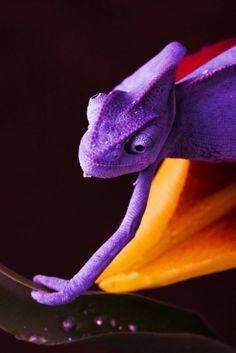 purple #lizard
