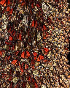 El Santuario de la Mariposa Monarca Michoacán México