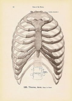 Bones of the THORAX, Rib Cage and Vertabra Black and White Steel Engraving Anatomy Book Plate No. 126 by Walker Street Vintage, via Flickr