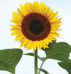 shop kings seed selections sunflower match