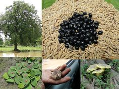 Medicinal Rice Formulations for Diabetes Complications, Heart and Kidney Diseases (TH Group-73) from Pankaj Oudhia's Medicinal Plant Database