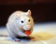 rats <3 carrots, and other crunchy things.