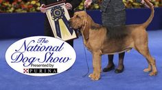 The National Dog Show will be televised on Thanksgiving Day