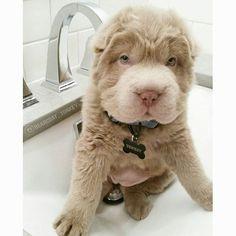 Parece um urso de pelúcia, mas não é. Essa é Tonkey, uma cachorrinha mais do que fofa que mora em Alberta, no Canadá, e tem mais de 44 mil seguidores no Instagram. A cachorra é da raça sharpei bearcoat e mora com sua 'mãe', seu 'pai' e sua 'irmã mais velha' Maxi
