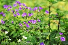 Keep your survival garden free from insects and pests this spring by growing plants that repel pests. Learn more about these amazing plants here! Common Garden Weeds, Insect Repellent Plants, Geranium Vivace, Household Pests, Flea Spray, Types Of Insects, Best Pest Control, Pest Management, Garden Guide