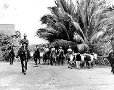 Paniolo Hearding Cattle in Kailua Kona