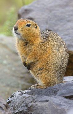 photographs by Mark Chappell Reptiles, Mammals, Ground Squirrel, Chipmunks, Squirrels, Mice, Arctic, Alaska, Wildlife