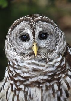Feds begin killing barred owls to help spotted owl.