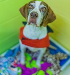 Introducing Winnie, a sweet-natured 9-year-old Pointer mix! She is a quite the cuddle-bug - loves to nuzzle. Meet Winnie today at Seattle Humane!  As with all of our dogs, Winnie has been spayed, microchipped, vaccinated and behavior-tested. Winnie was ADOPTED! from Seattle Humane, February 2017