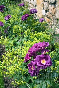 ROSES_AND_ALCHEMILLA_IN_BORDER