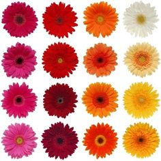 Google Image Result for http://www.fiftyflowers.com/site_files/FiftyFlowers/Image/Product/Gerbera_Flower_Farm_Mix_500.jpg