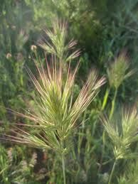 bromus madritensis (banderilla, cola de caballo o bromo) Hierba anual que florece en abril.
