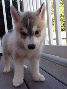 Looks just like a wolf puppy!