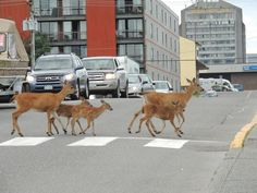 Even the deer use the crossings in Prince Rupert BC