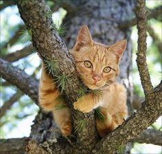 Orange Cat in a Tree
