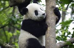 #panda #pandas #animals