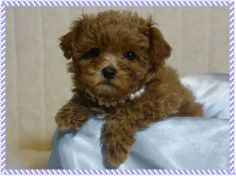 I was momentarily dazzled by Aaron here. They look like puppies even when fully grown! It is a teacup maltipoo.