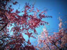 地元人が行きたい!京都の穴場桜名所「原谷苑」は枝垂れ桜の桃源郷! | 京都府 | [たびねす] by Travel.jp