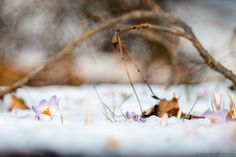 Crocus in the wood - null