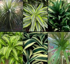 Dracaena Classification, or What Type of Dracaena Is It Better to Choose