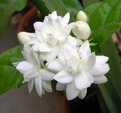 "Arabian Tea Jasmine Plant - Belle of India - Sambac - 6"" Pot by Hirts: Jasmine. $11.99. The plant you will receive is growing in a 6 inch pot. Outside it is hardy to Zone 8 and higher. Strongly fragrant 1"" double white blooms. Full sun, grows to 1-2' in container, minimum temperature 60 degrees, everbloomer. Flowers are borne in clusters of 3-12 blooms. JASMINE: A jasmine plant is a great addition to a garden or a home. Jasmine, known for its beautiful flowers and ..."