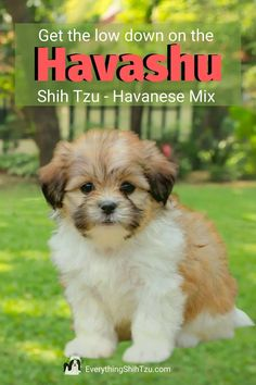Small mixed breeds dogs usually have the best of both breeds.  The Havashu is a more recent designer-mix. Shih Tzu and Havanese mix make a wonderful family dog.  Find out more about this amazing Shih Tzu mix dog breed. #everythingshihtzu #havanese #shihtzu #smallmixedbreeddog Small Mixed Breed Dogs, Small Dog Breeds, Small Dogs, Shih Tzu Poodle, Shih Tzu Mix, Non Shedding Dogs, All Types Of Dogs, Pekinese, Bichon Frise