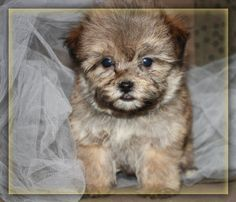 teddy bear puppies for sale by licensed professional breeder Bear Puppy, Teddy Bear Puppies, Teddy Bears For Sale, Havanese Puppies, Sheltie, Puppies For Sale, Poodle, Pets, Iowa