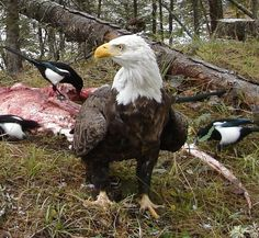 Eagle, magpies and less lucky creature  / via Great Falls Tribune Photo courtesy of DJ Rankosky
