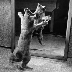 The year 1964: With claws bared, a kitten attacks its own mirrored reflection. Flashback 127 years into photographic history as we bring you images from the Natgeo archives—see more at natgeofound.tumblr.com @natgeocreative Photo by Walter Chandoha