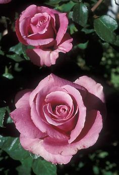 Barbra Streisand Rose - in person so much more beautiful. A gorgeous dusty pink...almost dusty blush.