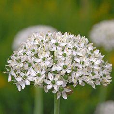 Elegant und natürlich: Allium nigrum. Pflanzzeit für die Blumenzwiebeln ist im Herbst - online bestellbar bei www.fluwel.de
