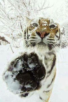 #winter #snow #tiger #cat #animal