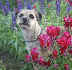 Border Terrier with some beautiful pink and purple flowers.