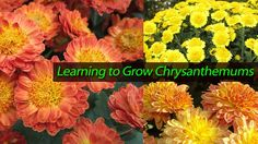 Learning to Grow Chrysanthemums