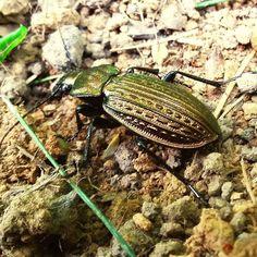 GREAT HUNTING: Carabus cancellatus cancellatus - střevlík měděný ...