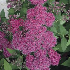 Double Play Red Spirea (Spiraea japonica Double Play Red) at Wayside Gardens