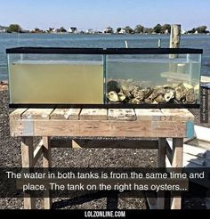 Oysters Are The Perfect Water Filters#funny #lol #lolzonline