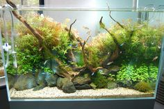 lieutenantfinn:  DSC_0608 by tamaddict on Flickr.  from a tumblr site with lots of pictures and information on aquascapes