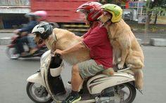 Moped Fahrer mit 2 Hunden