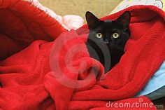 Download Black Cat Under A Red Blanket Royalty Free Stock Photos for free or as low as 0.68 lei. New users enjoy 60% OFF. 23,449,864 high-resolution stock photos and vector illustrations. Image: 17094678